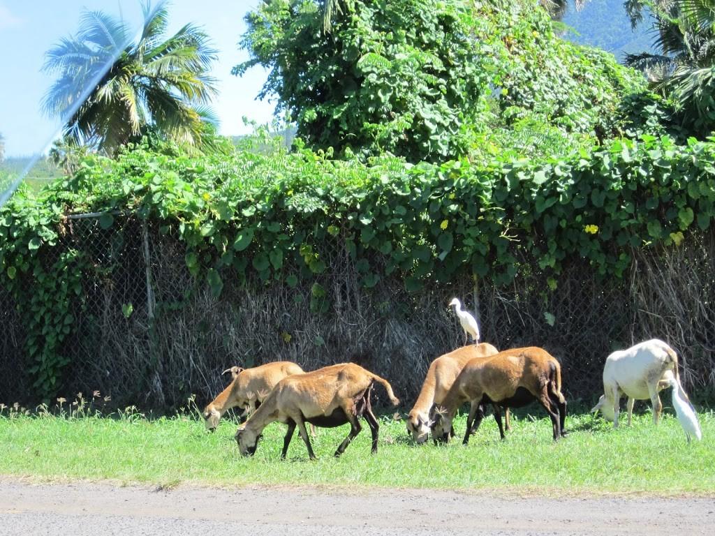Goats alongside road, Nevis
