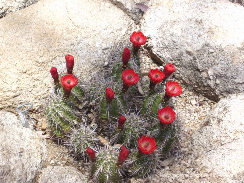 Arizona in Bloom: Hedgehog cactus at Boyce Thompson Arboretum