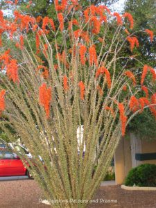 Arizona in Bloom: ocotilla