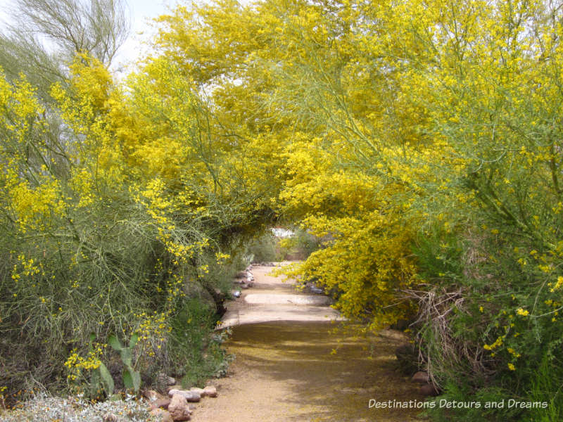 A canopy of palo verde blooms