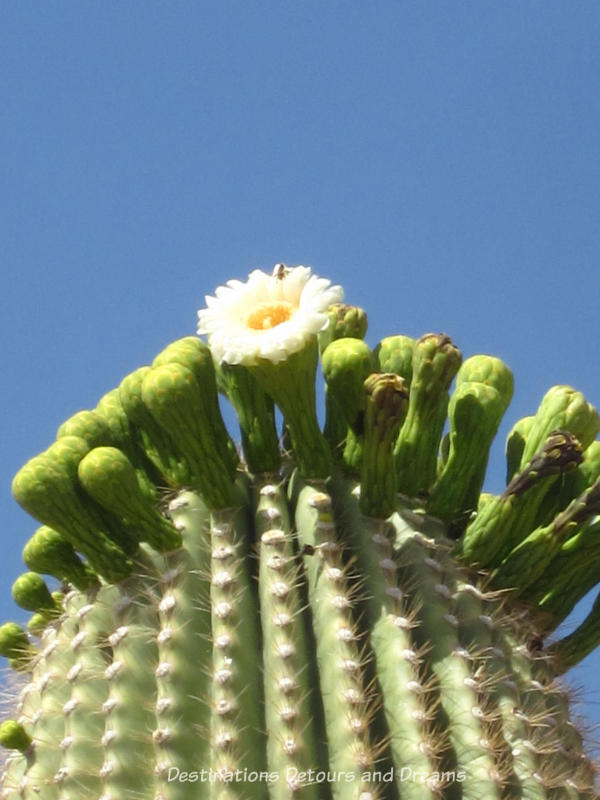 Arizona in Bloom: saguaro bloom