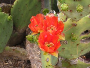 Prickly pear cactus bloom