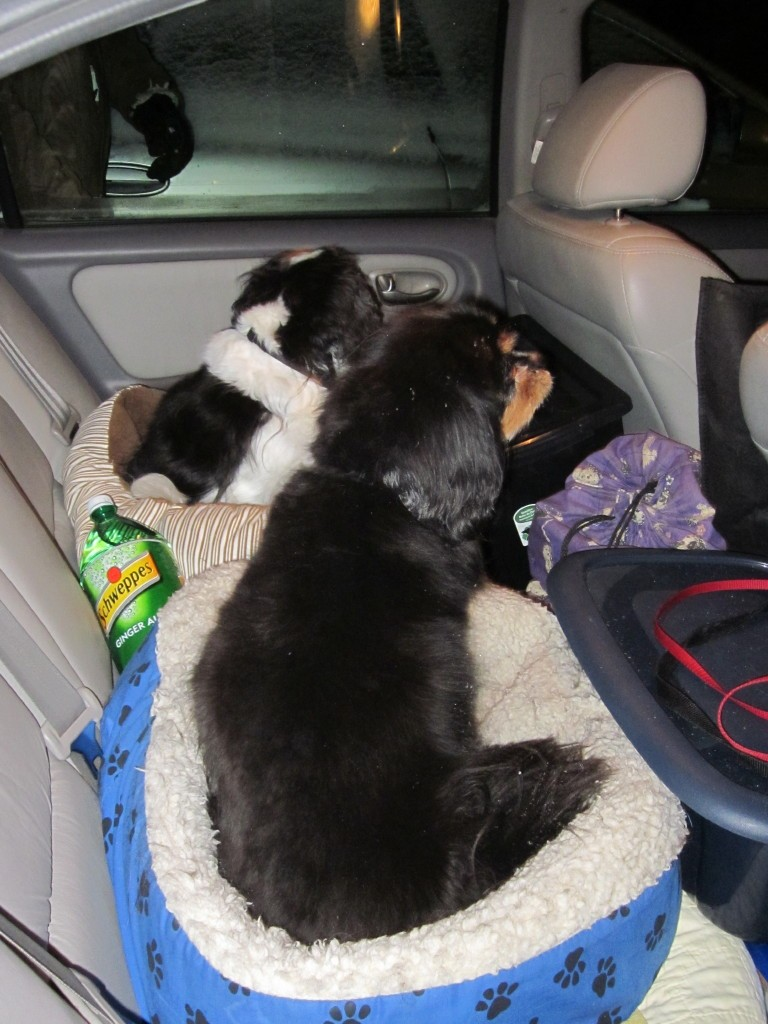 Dogs ready for the trip