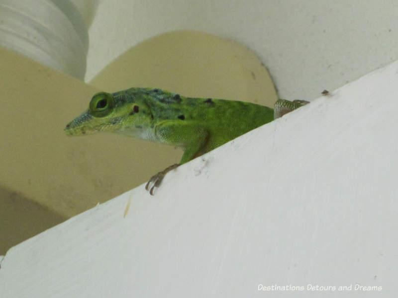 Lizard peering from ledge on the verandah in Nevis