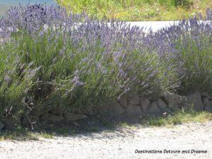 Field of lavender in bloom