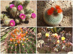 Cacti blooms at Boyce Thompson Arboretum