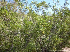 Creosote bush at Boyce Thompson Arboretum