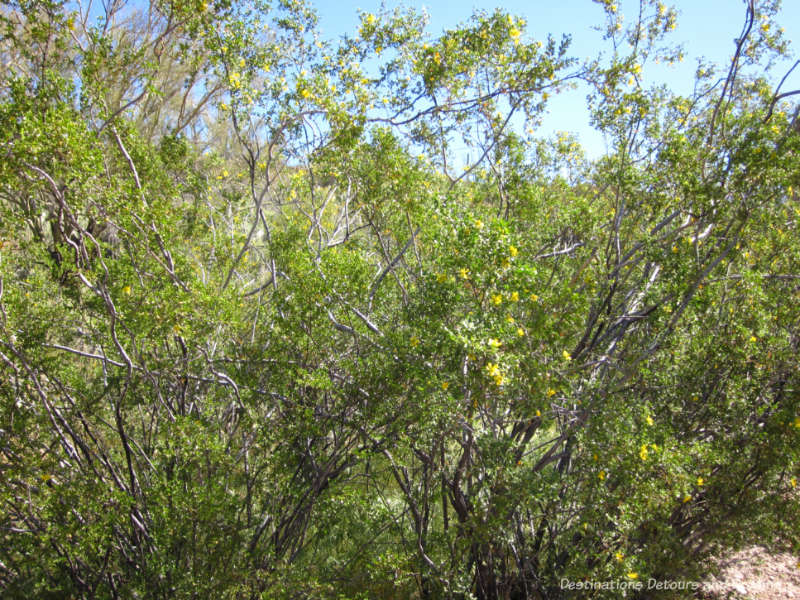 Creosote bush at Boyce Thompson Arboretum