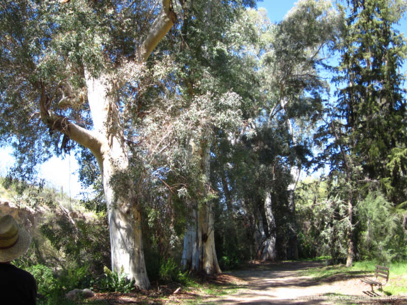 Eucalyptus trees in Australian Exhibit at Boyce Thompson Arboretum