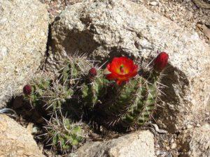 The endangered Arizona Hedgehog Cactus at Boyce Thompson Arboretum