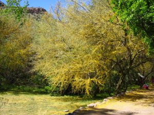 Palo Verde tree in bloom at Boyce Thompson Arboretum