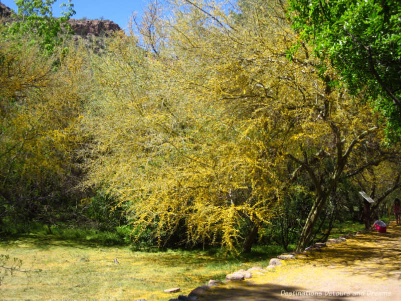 Palo Verde tree in bloom at Boyce Thompson Arboretum