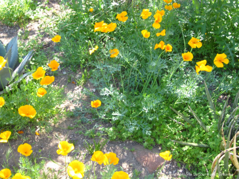 Poppies blooming at Boyce Thompson Arboretum
