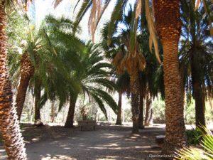 Palm trees at Boyce Thomspon Arboretum