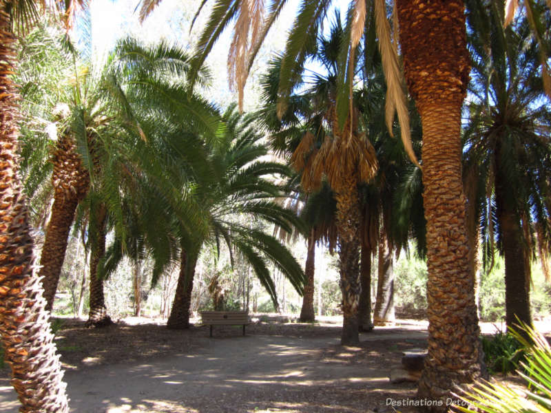 Palm trees at Boyce Thomspon Arboretum
