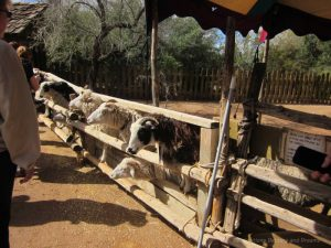 Fairhaven Farm petting zoo at Arizona Renaissance Festival