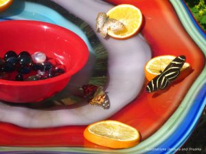 Butterflies attracted to the orange slices at Phoenix Desert Botanical Garden