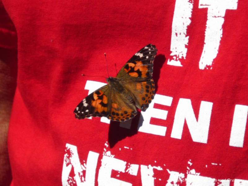 Butterfly landing on shirt at Phoenix Desert Botanical Garden Butterfly Exhibit