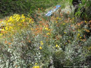 Spring wildflowers in Gilbert, Arizona