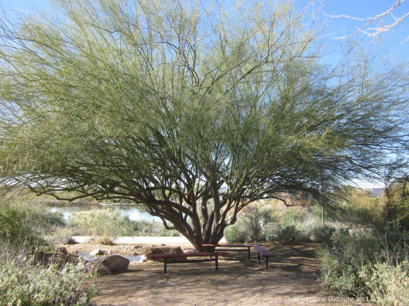 Bench under shade of a tree at Riparian rserve in Gilbert, Arizona