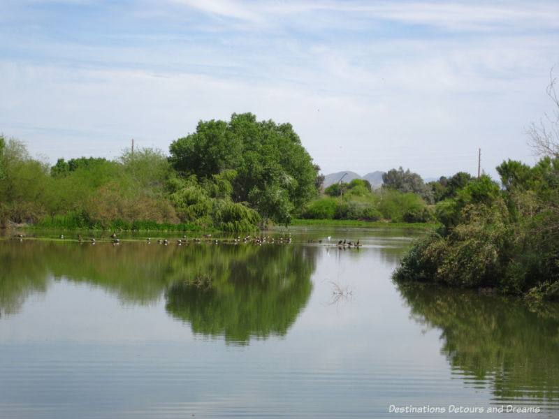 Geese on the lake at Water Ranch Riparian Preserve in Gilbert, Arizona