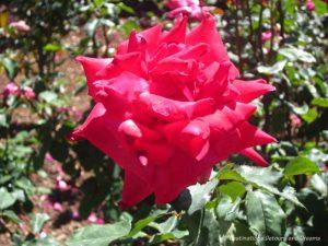 Red Bob Hope rose