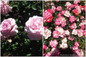 Field of Dreams and Chihuly floribunda rose