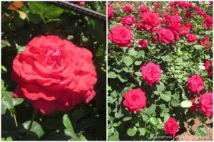 Let Freedom Ring and Veterans' Honor hybrid tea roses.