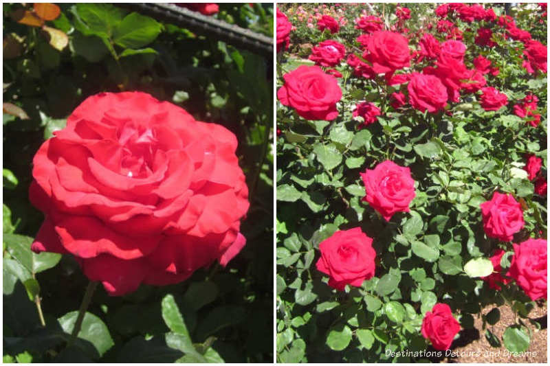 Let Freedom Ring and Veterans' Honor hybrid tea roses.