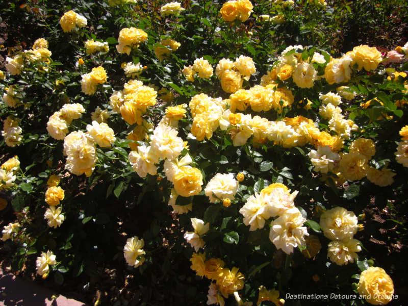 Buttery yellow Julia Child rose