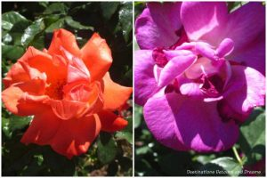 Lasting Peace and Wild Blue Yonder grandiflora roses