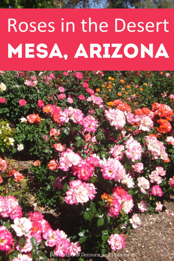 Roses in the desert at Mesa Community College Rose Garden in Mesa, Arizona #Arizona #roses #Mesa #garden
