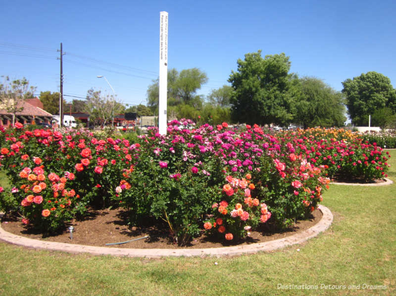 Orange and rose-coloured roses in one of the peace beds at Mesa Community College