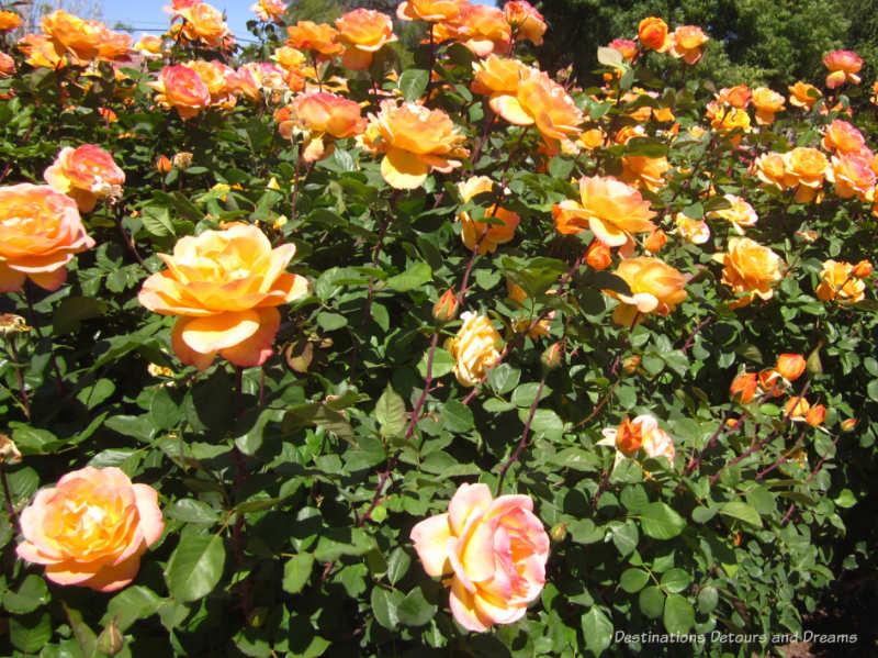 The yellowy-orange Strike it Rich rose, a grandiflora rose