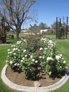 White and red roses in the Veterans' Garden at Mesa Community College Rose Garden