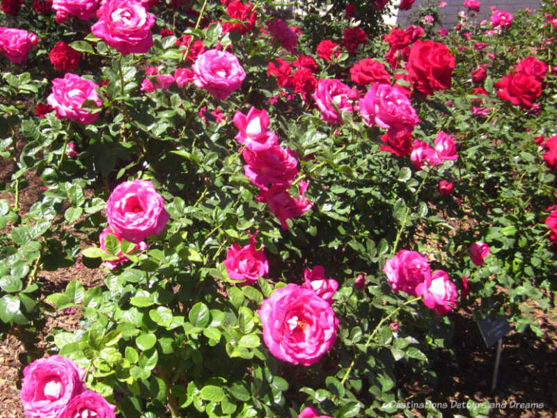 Roses in the desert at Mesa Community College Rose Garden, Arizona