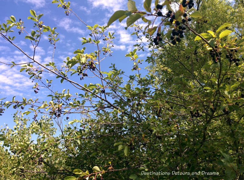 Chokecherry tree at FortWhyte Alive: a 640-acre nature preserve in Winnipeg, Manitoba