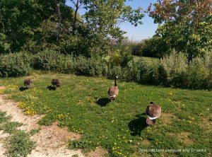 Geese at FortWhyte Alive: a 640-acre nature preserve in Winnipeg, Manitoba