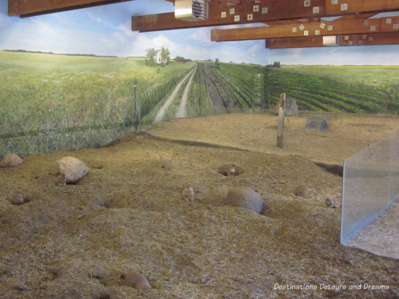 Prairie dogs in interpretative centre at FortWhyte Alive: a 640-acre nature preserve in Winnipeg, Manitoba