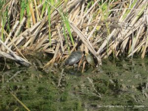 Turtle in the reeds at FortWhyte Alive: a 640-acre nature preserve in Winnipeg, Manitoba