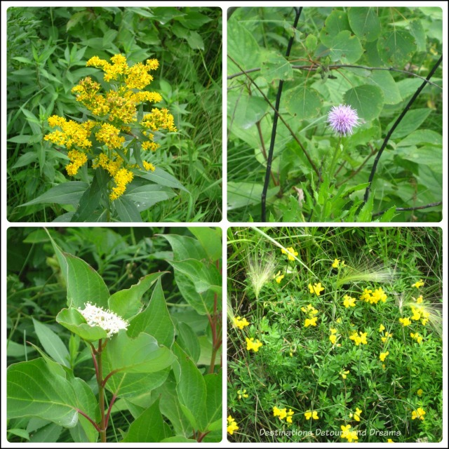 Wildflowers at FortWhyte Alive in Winnipeg, Manitoba