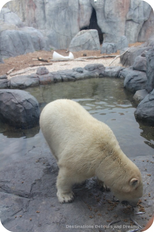 Polar Bear at Assiniboine Park Zoo Journey to Churchill exhibit