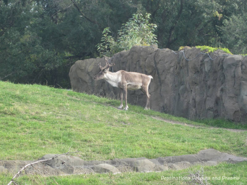Journey to Churchill at Assiniboine Park Zoo in Winnipeg, Manitoba: caribou
