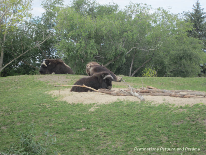 Journey to Churchill at Assiniboine Park Zoo in Winnipeg, Manitoba: muskox