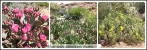 prickly pear plants
