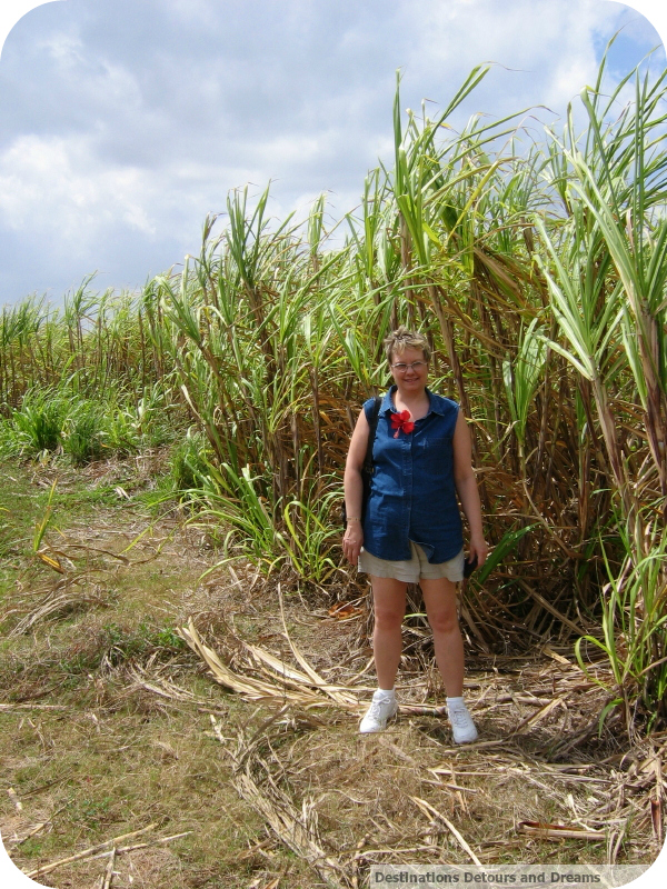 Cuban sugar cane field