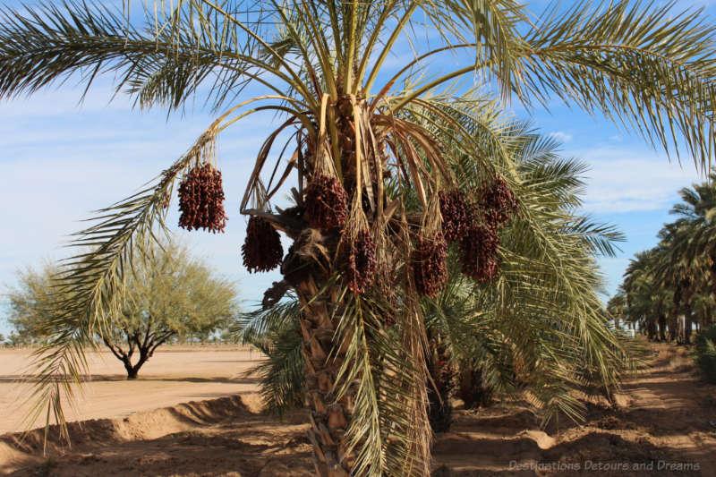 Date clusters at Dateland near Yuma, Arizona