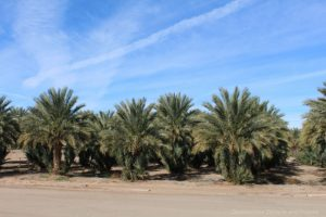 Date palms at Martha's Gardens Date Farm