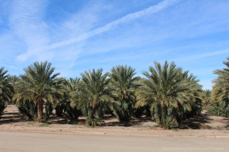 Date palms at Martha's Gardens Date Farm