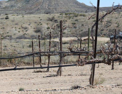 Arizona pruned grapes